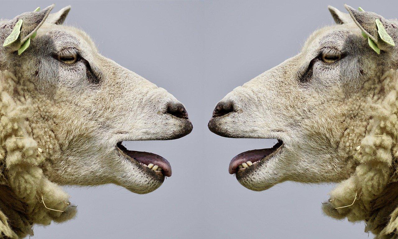 羊、コミュニケーション