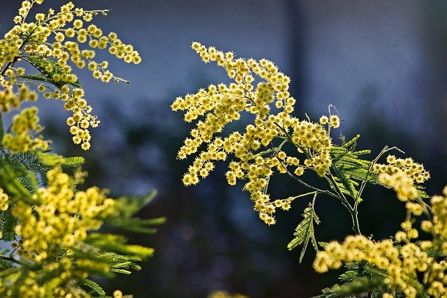 mimosa, flowers, spring