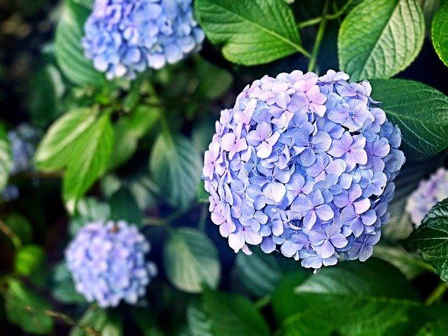 hydrangea, flowers, flower